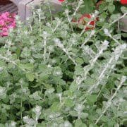 Helichrysum Micro Silver